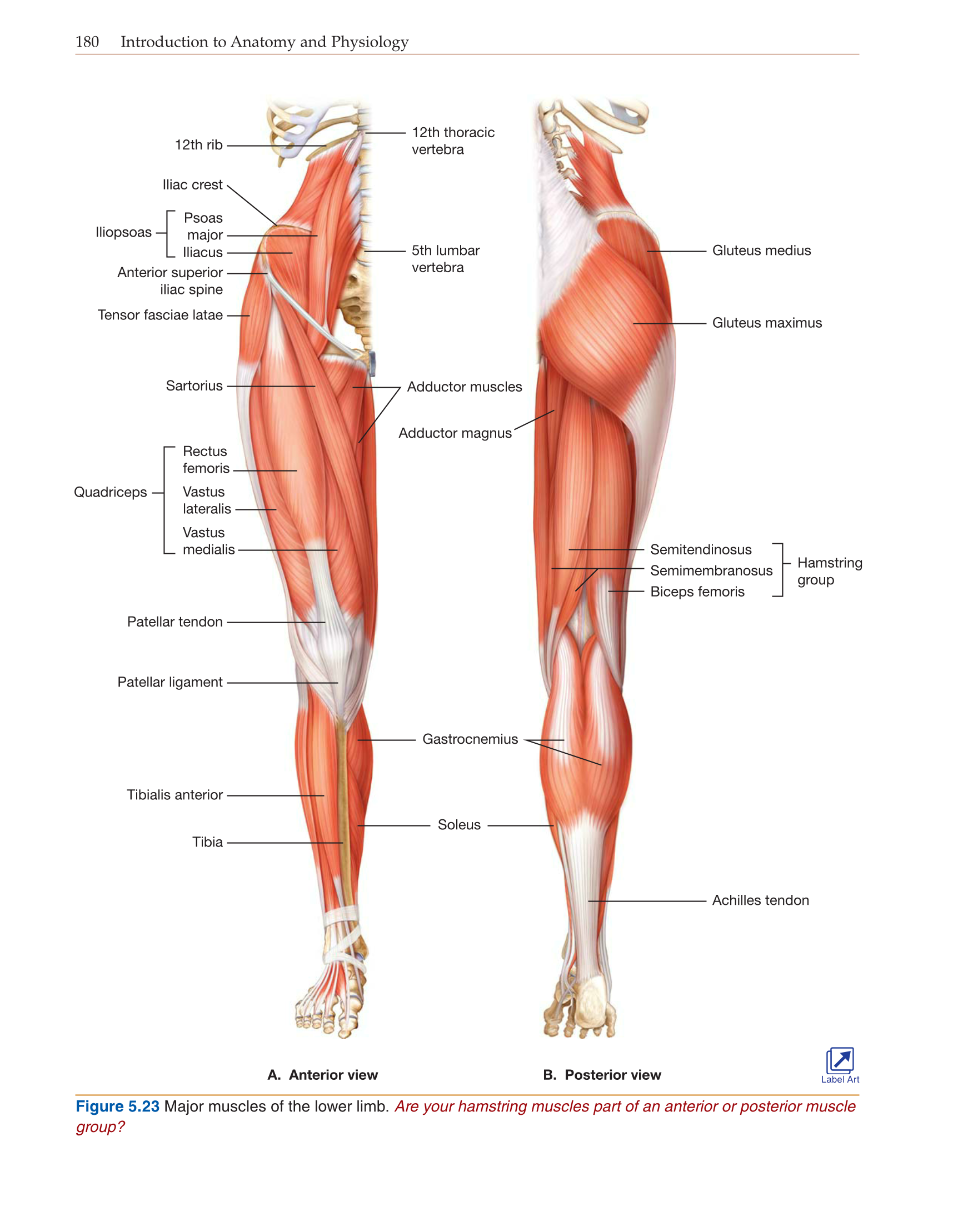 Hamstring Anatomy And Physiology Popular Best Photo Gallery Websites ...